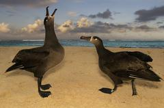 Black-footed albatrosses,  phoebastria nigripes, ina courting display on tern Stock Photos