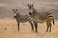 Stock Photo of two mountain zebras, equus zebra, on the plains at palmwag, torra conservancy