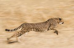 Cheetah, acinonyx jubatus,  running across the plain at the cheetah conservat Stock Photos