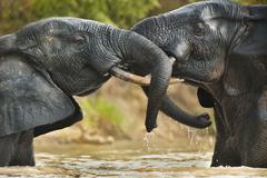 Norsu sonnit, loxodonta africana, kaksi aikuista urosta seisoo vedessä Kuvituskuvat