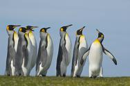 Stock Photo of king penguins, aptenodytes patagonicus, gathered in a group looking up in a c