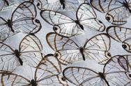 Stock Photo of glass wing butterflies, dulcedo polita, national institute of biodiversity, c