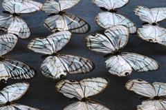 Glass wing butterflies, dulcedo polita, national institute of biodiversity, c Stock Photos