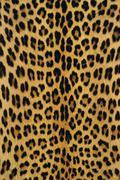 Leopardi iho, panthera pardus, Botswana Kuvituskuvat