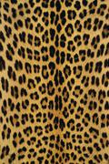 Leopard skin, panthera pardus, botswana Stock Photos