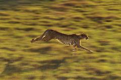 Gepardi käynnissä, acinonyx jubatus, kotoisin Afrikasta Kuvituskuvat