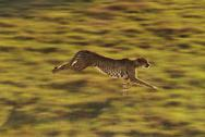 Stock Photo of cheetah running, acinonyx jubatus, native to africa