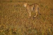 Stock Photo of cheetah hunting, acinonyx jubatus, kenya