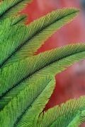 Resplendent quetzal feathers, pharomachrus mocinno, costa rica Stock Photos