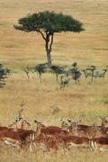 impalas and aepyceros melampus, on grassland with small acacia trees in the m - stock photo