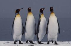 king penguins courting, aptenodytes patagonicus, south georgia island - stock photo