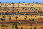 Stock Photo of palm savanna, a tree covered plain on horombe plateau, southern madagascar