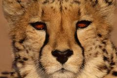 Gepardi, acinonyx jubatus, Namibia Kuvituskuvat