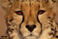 Stock Photo of cheetah, acinonyx jubatus, namibia