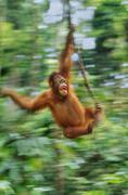 Orangutan, pongo pygmaeus, swinging from liana, sepilok reserve, sabah, borne Stock Photos