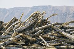 pile of discarded cottonwood trees - stock photo