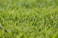 Stock Photo of freshly cut green grass, a dense carpet of grass blades, lying in one directi
