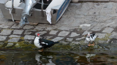 Muscovy Duck along Orta Lake , Italy Stock Footage