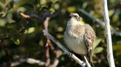 Endemic Hood Mockingbird displaying at Punta Suarez on Espanola Island in the Stock Footage