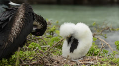 Great Frigatebird and chick on their nest on Genovesa Island in Galapagos Stock Footage
