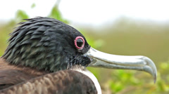 Close up of Great Frigatebird on their nest on Genovesa Island in Galapagos Stock Footage