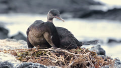 A pair of Galapagos flightless cormorants changing at their nest at Punta Stock Footage