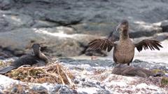 A pair of Galapagos flightless cormorant quarreling at Punta Espinoza on Stock Footage