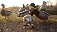 Ducks at the pond - stock footage