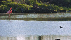 American flamingo walking in a saltwater marsh on Cerro Dragon on Santa Cruz - stock footage