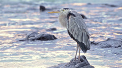 Great Blue Heron perched on a rock at sunset on North Seymour Island in - stock footage