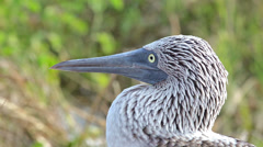 Close up of a Blue-footed booby face on North Seymour Island in the Galapagos Stock Footage