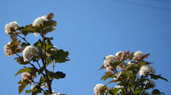 White blooming viburnum snowball bush blooms move on blue sky Stock Footage