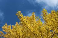 Stock Photo of yellow autumn leaves on the tree
