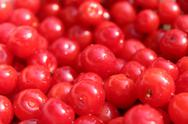 Stock Photo of friuts of red berries of prunus tomentosa