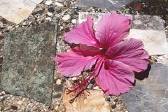 pale pink hibiscus flower on crazy paving - stock photo