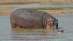 Hippo with baby and oxpecker Stock Footage