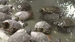Stock Video Footage of turtles on pond