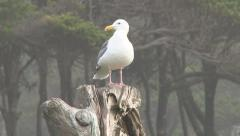 Western Gull on Driftwood Stock Footage