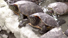 Stock Video Footage of turtles looking