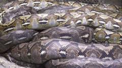 Python resting Stock Footage