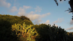 Sicily, prickly pears Stock Footage