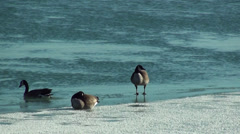Geese at the frozen beach 4 Stock Footage