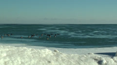 Geese at the frozen beach 5 Stock Footage