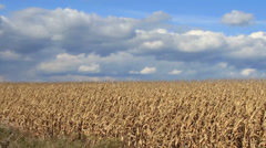 Dry Cornfield on a Sunny Windy Day Stock Footage