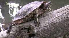 Stock Video Footage of turtle on stone