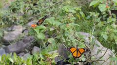 Monarch Butterflies 2 Stock Footage