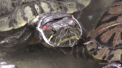 Stock Video Footage of turtle closeup on pond