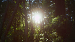 The sun filters through tall trees in a forest. Stock Footage