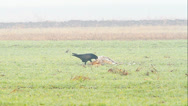 Stock Video Footage of a raven feeding on the carcass of the dog