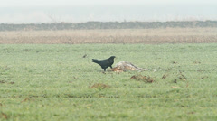 A raven feeding on the carcass of the dog Stock Footage